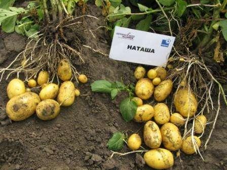Хотя сорт картофеля Наташа по отзывам и описанию почти не подвержен действию вредителей, все равно ре