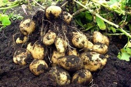Картофель Импала: отзывы, кто сажал