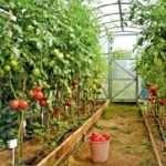 Сорта помидор высокорослые для парников