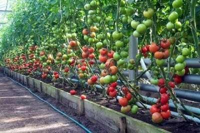 Высокорослые томаты требуют нетрадиционного ухода в домашних условиях при посадке в теплицу. Стоит учитывать особенности их структуры: ветки на высоких лианоподобных побегах не всегда могут выдержать кру