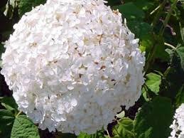 Наиболее приемлемыми условиями для гортензии является освещение в утренние и вечерние часы, когда солнце не палит, и обеспечение затенения в полдень. Вообще же гортензия может цвести и на ярком солнце, и в тени, но это будет влиять на качество цветения: от палящего зноя соцветия становятся мелкими, растение пло