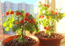 Несмотря на то, что сорт считается очень ранним, его необходимо вовремя посадить. Посев должен быть пр