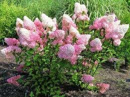 Гортензия – это кустарник, который в среднем (зависит от сорта) достигает 1,5-2 м в высоту. Растение имеет пышные соцветия, длиной 25-35 см. Диаметр одного цветка из кисти составляет почти 3см. Они имеют широкий спектр окраса: от белоснежного до пурпурно-красного. Если соблюдать несложные правила ухода, то
