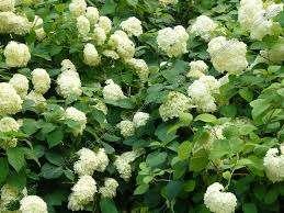 Соцветия гортензии, собранные в пышные шары, имеют разнообразную окраску и к тому же имеют способность менять ее в продолжение сезона цветения. Не менее, чем соцветия, у гортензии декоративны и лис