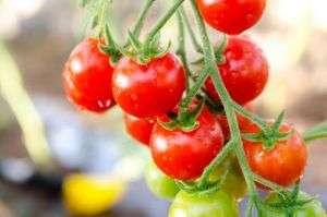 Помидор «Балконное чудо» – это прекрасный вариант для выращивания в комнатных условиях. Этот сорт отличается очень быстрым созреванием и удобным содержанием на балконе или веранде. Взрослое растение выр