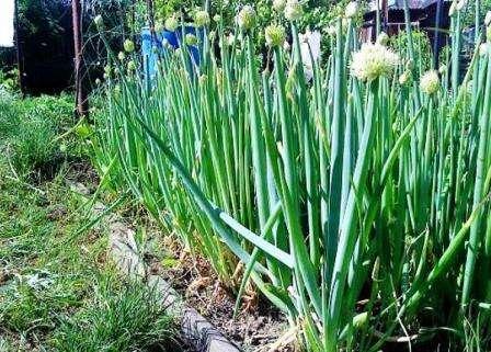 Лук-батун - один из наиболее урожайных сортов. На одном месте может расти около 5 лет. Почва для его по