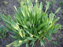 Лук-слизун – при выращивании в тепличных условиях дает круглогодичный обильный урожай. В условиях от