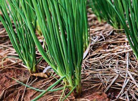 Лук-шалот – один из наиболее удачных видов лука на зелень, так как дарит высокий урожай густого качес