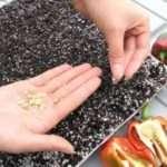 Выращивание перца из семян в домашних условиях