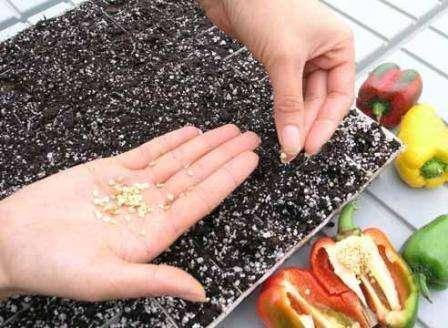 Как вырастить перец из семян в домашних условиях на рассаду