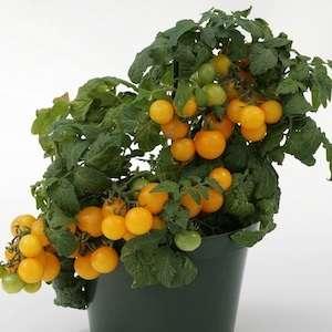 Если на стеблях, листьях или плодах появляются бурые пятна – это показатель фитофтороза. Необходимо немедленно спасать растение. Для начала нужно изолировать больное растение от здоровых, а после об