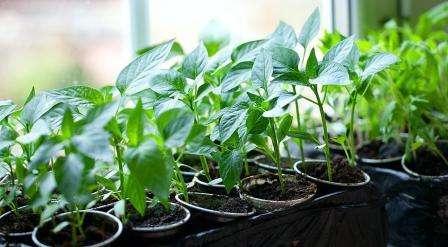 Очень вкусный перец можно вырастить из посеянной рассады. Выращенная в домашних условиях рассада даст крепкие сеянцы, от которых можно ожидать хороший урожай. Вы можете купить готовую рассаду, но в та