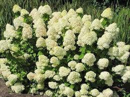 Забота, нужна абсолютно каждому растению. И гортензия не исключение. Она может подвергаться нападкам не
