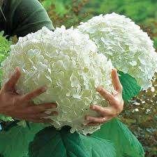 В начале осени растение начинает готовиться к зиме и удобрять его не требуется. Рыхление почвы – необходимая процедура при уходе за гортензией. Для улучшения внешнего вида соцветий и увеличения их кол