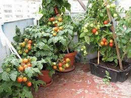 Основным достоинством сорта «Балконное чудо», является его неприхотливость. Основное правило ухода за взрослым растением – это своевременный полив и достаточная освещенность помещения. Все также, кусты н