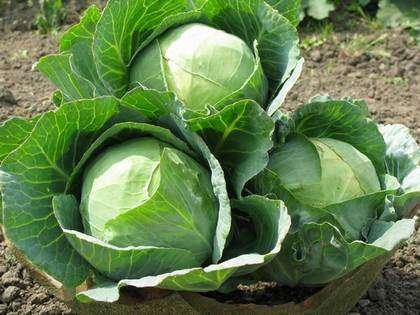 Непосредственно перед посевом семян, для лучшего прорастания, их лучше оставить в достаточно теплой воде приблизительно на 20 минут, а после поместить в прохладную воду для повышения иммунитета и бо