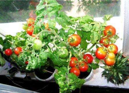 Комнатные помидоры, как и обычные, должны выращиваться в хорошей плодородной почве. Для этого можно купить специальную земляную смесь в цветочном или семенном магазине. Можно, почву по