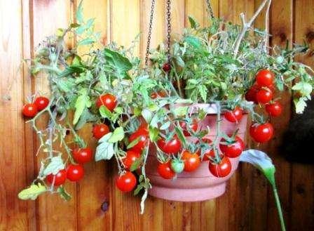Помидоры Балконное чудо: выращивание в открытом грунте