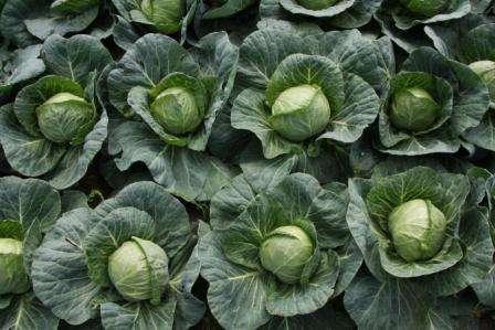 роший урожай зависит от качества выбранных семян для посева. Но прежде чем покупать семена, нужно определиться какая именно капуста, и для каких целей нужна. В основном, опытные огородники, выбирают для п