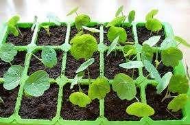 астурция – многолетнее растение, но во многих местностях, из-за особенностей выращивания, относится к од