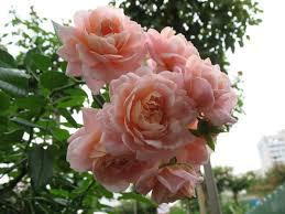 Диаметр отдельного цветка достигает 6 см. Размер лепестков уменьшается от нижних к верхним, а вот плотность расположения, наоборот, увеличивается. Кроме того, нижние лепестки имеют волнистую форму и сл