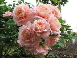 Сорт появился на свет благодаря селекции чайно-гибридных и полиантовых роз, переняв лучшие качества этих сортов. Одно из этих качеств позволило розе Гейша по описанию стать нетребовательной к уходу. Рас