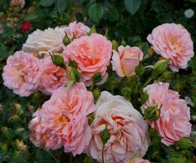 Сорт розы Гейша: фото, описание