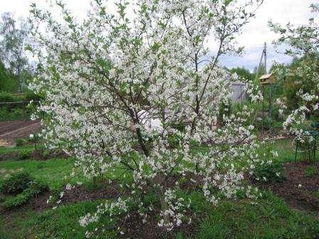 До образования цветков, вишня Молодежная требует обработки фунгицидами. Это объясняется тем, что после зимовки появляется вероятность заболевания монилиозом. Риск особенно возрастает при затяжной до
