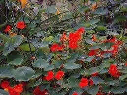 Стоит не забывать о регулярной прополке растения, рыхлении почвы и обработке от вредителей. Настурция очен