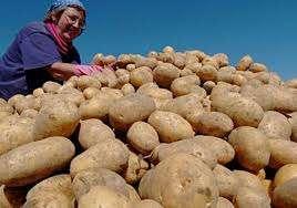 Вывели раннеспелый сорт картофеля «Лидер» работники ГНУ Уральского научно-исследовательского института сельского хозяйства. Клубень имеет овально-круглую форму с небольшими глазками. Рассчитана к