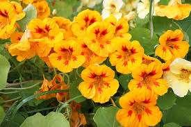 Настурция высаживается на солнечных участках – это обеспечит обильное цветение. Почва должна быть легкой, немного кислой, хорошо вентилируемой и не переувлажненной. Если в грунте много органических удо