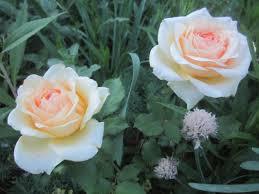 ажно знать, что при недостаточном освещении зоны высадки, стебли начинают тянуться к свету, удлиняться. Цветы при этом теряют свой истинный цвет и приобретают абсолютно белый оттенок.  Как п