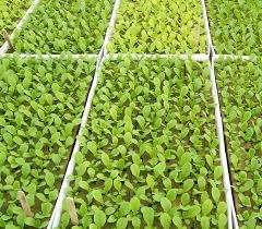 Овощная культура относится к однолетним растениям семейства капустные. Диаметр одного плода может достигать 10-15 см, а вес более 20 г. Цвет варьируется от розового, до огненно-красного. Редис обладает мно