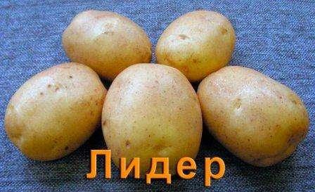 Глубина, на которую высаживают картофель, зависит от типа почвы. При более плотных и тяжелых грунтах, посадка должна быть более мелкая. Если земля глинистая, то глубина лунки составляет до 5-6 см, а если ры