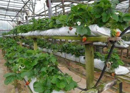 Однозначно, что для получения хорошего урожая не возможно без качественной теплицы. У клубники есть свои требования к месту выращивания. Идеальным вариантом станет стеклянное сооружение со стальным кар