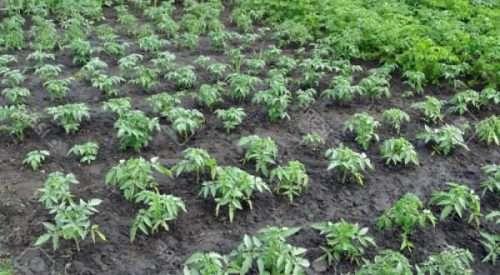 Плоды томата «Джина», имеют прекрасные вкусовые качества. Помидор отличается упругой, плотной кож
