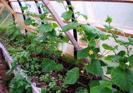 Первый шаг к высокому урожаю – качественные семена. Для этого нужно потрудиться и отбраковать испорченные и мелкие зерна. Остальные заливаются соляным раствором. Те зернышки, которые по