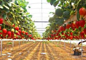 Для начала было бы хорошо понять, какие методы по выращиванию клубники у самой Голландии. Это п