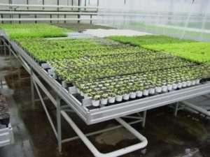 Главным условием для хорошего плодоношения редиса – это соблюдение температурного режима. Овощ очень любит свет и прохладу. При отсутствии этих факторов, урожай может быть мелким либо пойдет в стр