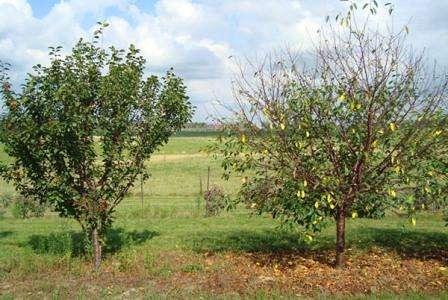Цвести деревцо начинает в конце весны, а уже в июле можно отведать первые ягоды. Соцветия формируются из 5-7 белых цветков размером от 18 до 30 мм. На фото ниже приведен пример цветущих ветвей дерева. Раст