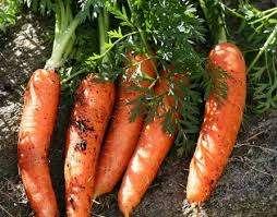 Зная, как вырастить морковь крупную и длинную, вы сможете собрать хороший урожай даже на небольшом участке почвы. Применяйте советы из этой статьи и видео, то работа на вашем огороде будет приносить настоящ