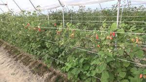 Вредителями малины являются: стеблевая муха, малинный жук, стеблевая галлица, почковая моль, тля. Чт
