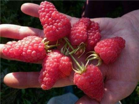 «Маросейка». Сорт такой малины имеет высокую урожайность. Вкус ягоды очень сладкий. Вы сможете почувствовать приятный аромат этого чудесного сорта! Он имеет удивительные особенности, поэтому пол
