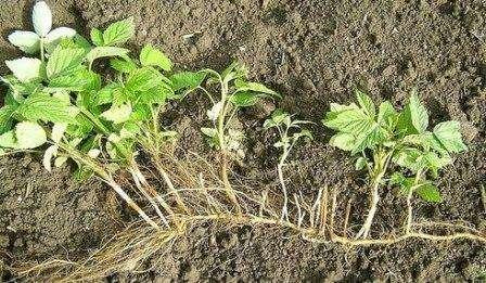 После таяния снега на юге кусты ремонтантной малины необходимо подкормить. Как только растения дадут ростки высотой 10-15 см, необходимо вырезать слабые побеги. От вредителей и болезней обрабатывают при не