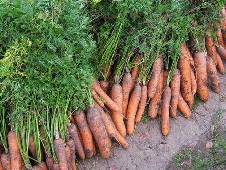Хорошая земля – это один главных факторов хорошего и качественного урожая. Почву обычно выбирают лёгкую, с хорошим дренажём и обязательно плодородную. Также, стоит обратить внимание, на глубину п
