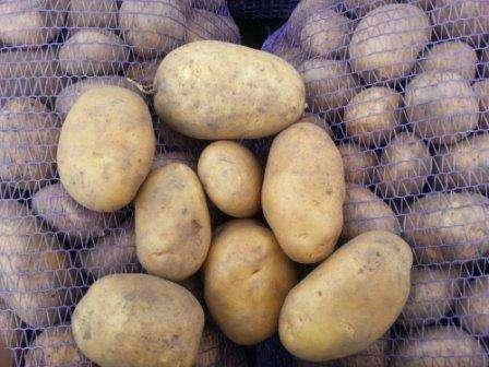 Сразу после посадки необходимо обеспечить хороший уход за сортом картофеля «Бриз», тогда сможете собрать осенью крупные клубни. Еще до первых всходов позаботьтесь о том, чтобы не образовывалась корка на