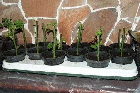аготовки помещаются в траншее с отступом в пятнадцать сантиметров, чтобы не мешать росту. До двух третей присыпают стебли почвой. Для создания парникового эффекта каждый черенок отдельно помещают под стеклянную банку. От картофельного плода напитывается роза углеводами, крахмалом. Поливать черенк