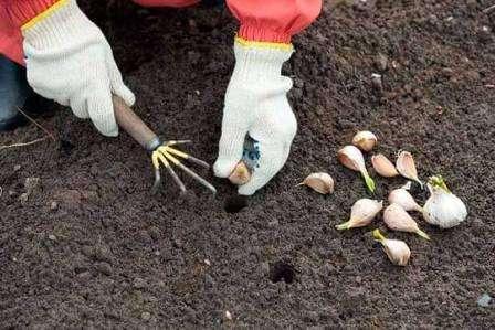 Наиболее популярный способ для размножения чеснока – это зубчики, намного реже семена, или как их ещё называют – бульбочки. Чтобы вырастить полноценную крупную головку из семян, потребуется два года. 1-й год высаживаются семена, из которых получаются маленькие луковички, а уже в следующем году из них выр