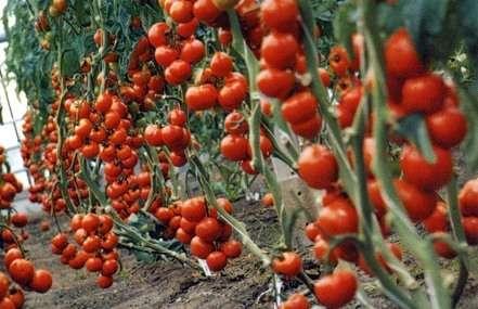 Высаживать рассаду нужно в подготовленный грунт теплицы. Преимуществом будет, если он был удобрен в к