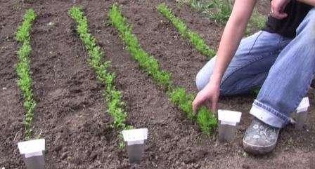 Землю для посадки, как правило, подготавливают с осени, намного реже весной. Процесс подготовки заключается в том, чтобы убрать камни из почвы, хорошенько вскопать грядку, при необходимости удобрить навозом или компостом, в пропорциях 10 литров на м2 . Если у вас слишком тяжёлая земля, то в неё обя